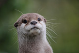 Cute close up portrait of an Asian or Oriental small clawed otter (Aonyx cinerea) with out of focus background - 203318225