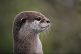 Cute close up portrait of an Asian or Oriental small clawed otter (Aonyx cinerea) with out of focus background - 203319013