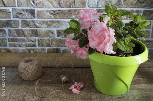 Fotobehang Azalea Azalea flower closeup. Flowering azalea in a pot. Flower potted on a wooden table with copy space.