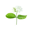 Jasmine Flower isolated on white background with clipping path