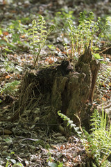 Emerging leaf of fern on stump.