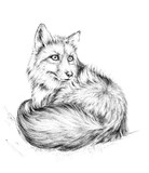 Sketch a fox,  black and white drawing. - 203353812
