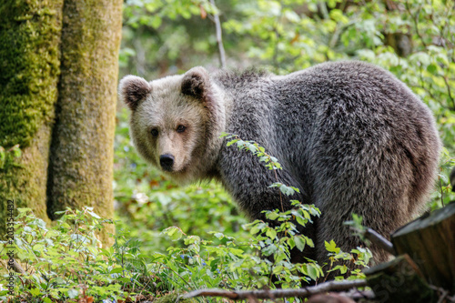Orso bruno (Ursus arctos) nella foresta della Slovenia