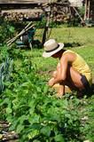 récolte de haricots au potager - 203356864