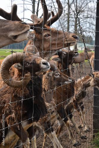 Fotobehang Hert Deer and wild aries