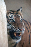 Portrait of a tiger growling at something
