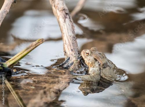 Plexiglas Kikker Frosch im Wasser an einem Ast