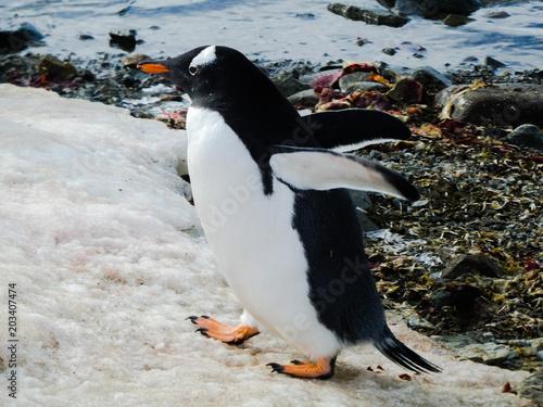 Fotobehang Pinguin Busy Gentoo