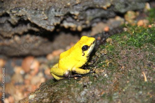 Plexiglas Kikker Phyllobates terribilis - grenouille jaune