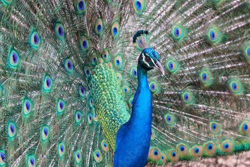 Plexiglas Pauw Peacock Dance