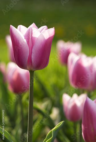 Plexiglas Tulpen Pink tulips in spring time