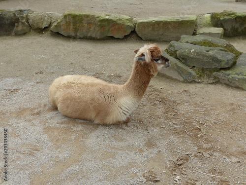 Aluminium Kameel Alpaka, Kamel, Tier liegt auf dem Sand
