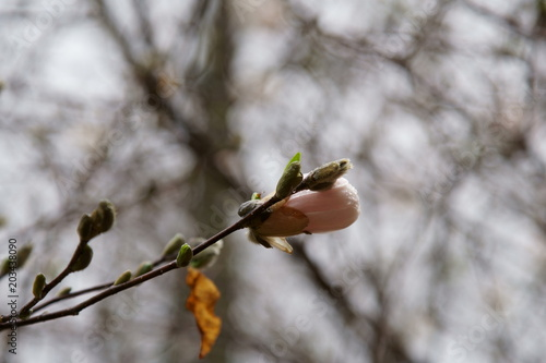 Fototapeta Magnolia flower in bloom