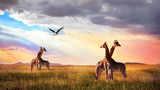 Group of giraffes and bird in the Serengeti National Park. Sunset cloudscape. African wild life.