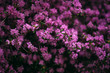 beautiful violet lilac flower bush blooming in the park