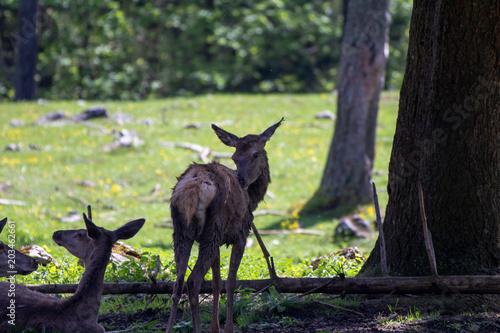 Fotobehang Hert Rehe im Wald