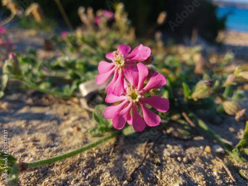 Canvas Zen Stenen spring on malta, pink flower growing from sand