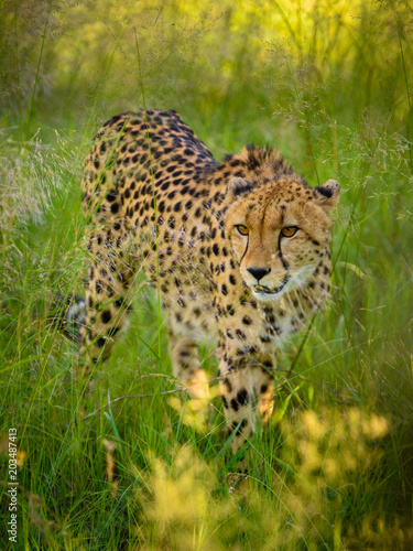 Fridge magnet African cheetah, Masai Mara National Park, Kenya, Africa. Cat in nature habitat. Greeting of cats (Acinonyx jubatus)