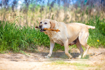 labrador retriever dog carries a stick in his teeth after swimming in the river
