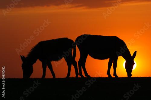 Plexiglas Baksteen Silhouette of two donkeys on sunset