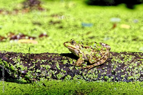 Plexiglas Kikker Frog on log