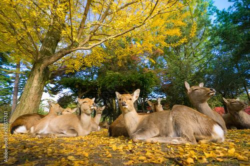 Fotobehang Hert Nara's deer with Autumn leaves.