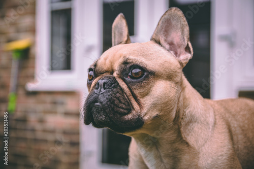 Plexiglas Franse bulldog French Bulldog