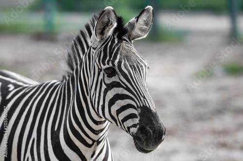 Fototapeta portrait of a zebra closeup