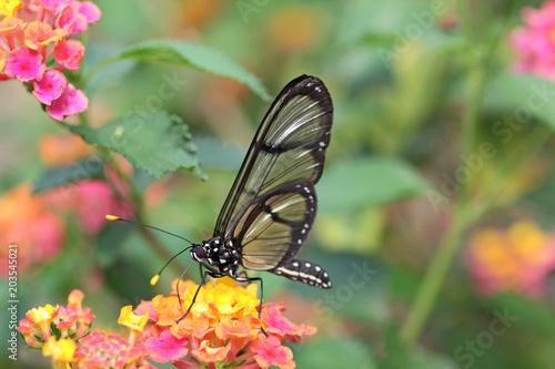Plexiglas Vlinder papillon qui butine