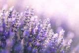 Fototapeta Lawenda - Close-up view of Lavender in Provence, France © Beboy