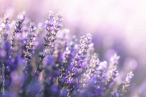 Close-up view of Lavender in Provence, France © Beboy