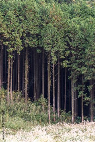 Plexiglas Cyprus Cyprus trees Japan
