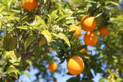 świeże pomarańcze na drzewie - kwitnące wiosną natura - zdrowe owoce diety
