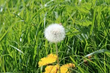Pusteblume und Löwenzahnblüte im Gras