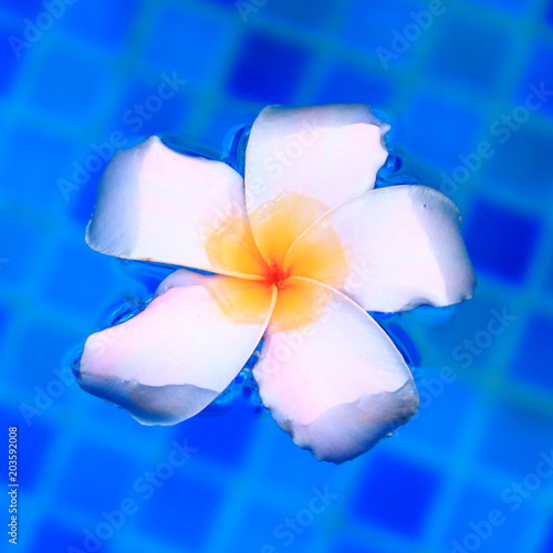 Plexiglas Plumeria White flower plumeria floats in the pool close up. Single frangipani flower floating on the surface of the water. Square photo