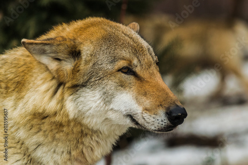 Plexiglas Wolf Grey wolf face (canis lupus) looking to the right