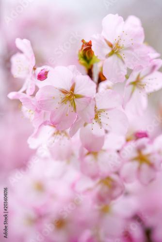 Fototapeta 桜