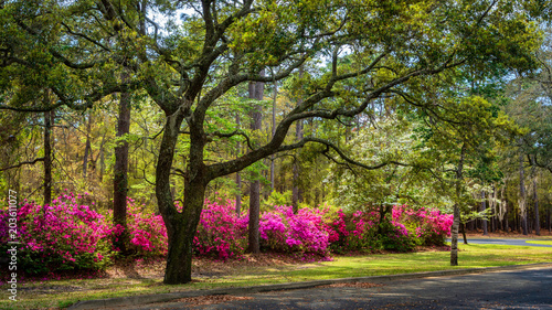 Fotobehang Azalea Spring blooming Azalea in South Carolina