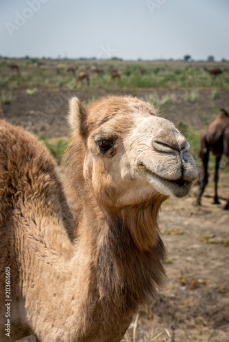Plexiglas Kameel Portrait of an Indian Dromedary Camel Standing in Front of a Herd of Camels in the Thar Desert
