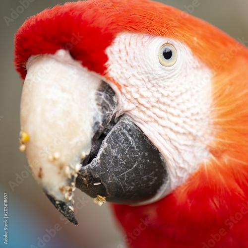 Aluminium Papegaai Close up of the macaw bird.