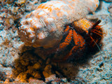Hermit Crab at coral reef in Maldives