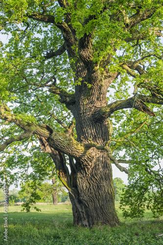 Stary Dąb szypułkowy w okolicy Rogalina - 203641643