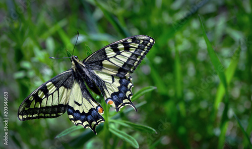Plexiglas Vlinder Butterfly on the glade. Bright beautiful butterflies. Swallowtail butterfly, Papilio machaon