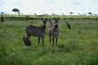 Zebras on the savanna, Africa, Kenya