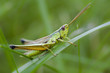 Grasshopper in grass on meadow close-up