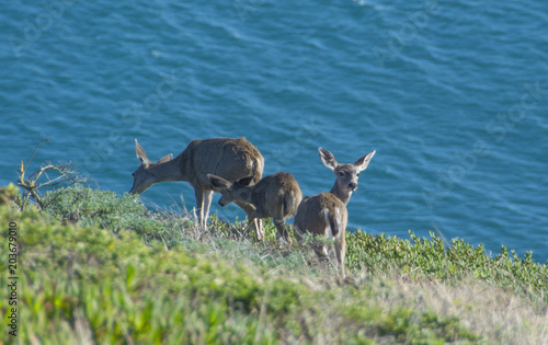 Fotobehang Hert Deer babies on the coast of California