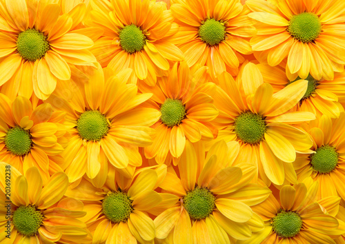 Aluminium Gerbera Yellow flowers full frame. Gerbera spring flowers background pattern. Top view. Repetition concept