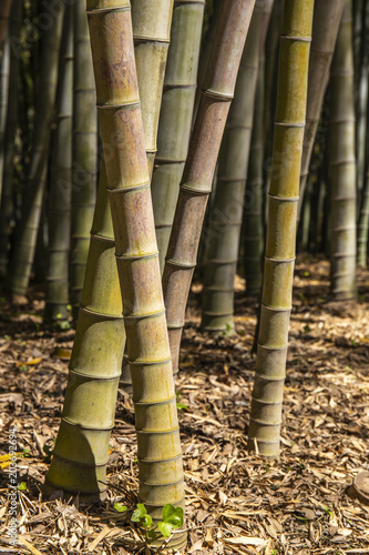 Plexiglas Bamboe Bamboo forest in Italy