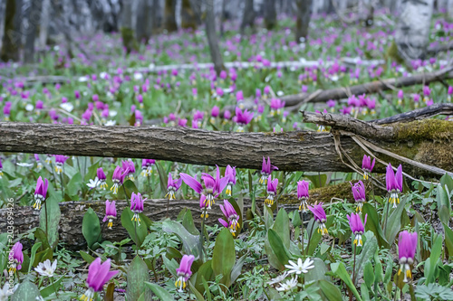 Aluminium Olijf Spring forest landscape with first flowers, horizontal background