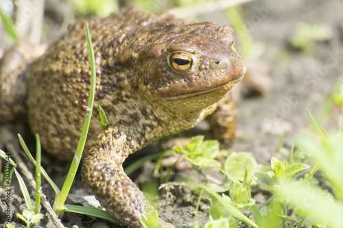 Plexiglas Kikker frog